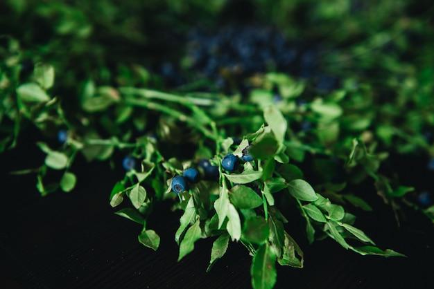 Mirtilli con rametti e foglie su uno sfondo scuro. sano mangiare frutta fresca di stagione.