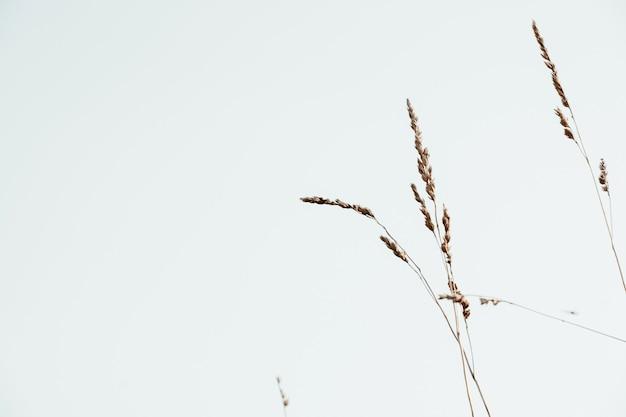 Steli bluegrass contro il cielo blu. natura minimale
