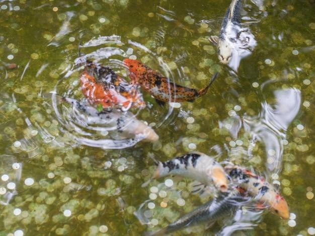 Sfondo sfocato di carpe giapponesi in uno stagno domestico. piscicoltura.