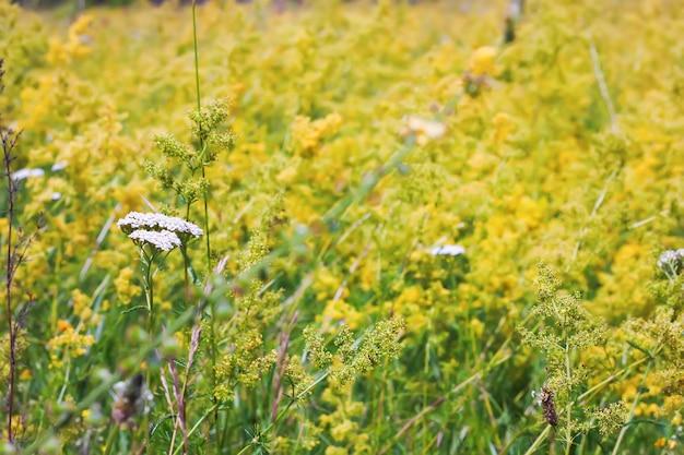 Sfondo sfocato. prato estivo con fiori gialli