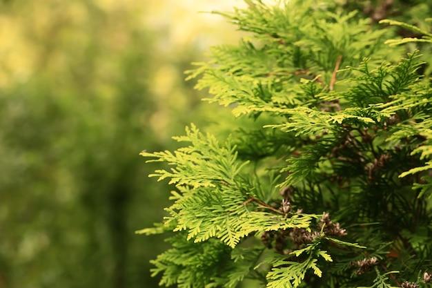 Sfondo naturale sfocato di abete verde
