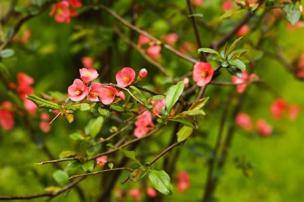 Vista sfocata e messa a fuoco selettiva dei fiori rosa cespuglio fioriti su tutta la vegetazione dei cespugli verdi e sullo sfondo della carta da parati della natura nature