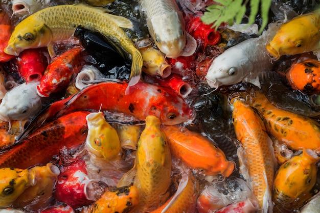 Carpa fantasia sfocata o pesce koi in piscina
