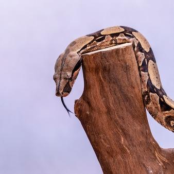 Il boa constrictor (boa constrictor), chiamato anche boa dalla coda rossa o boa comune, è una specie di serpente grande, non velenoso, di corpo pesante che viene spesso tenuto e allevato in cattività