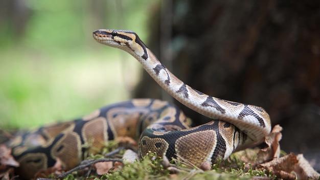 Il boa constrictor alzò la testa. un grosso serpente grasso alza lo sguardo. fauna selvatica, animale pericoloso. sfondo sfocato, 4k uhd.