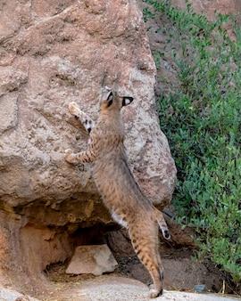 Bobcat ispezionando una scogliera territoriale