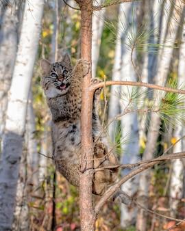 Bobcat kitten arrampicata su un albero di pino in un bosco di betulle