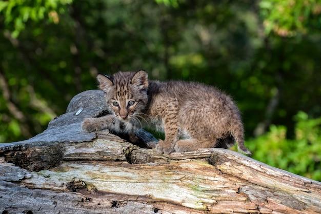 Bobcat kitten giocando su un vecchio ceppo caduto
