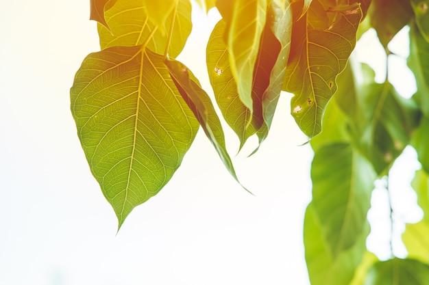 Bodhi leaf green ecologia della natura fresca con la luce solare fotosintesi