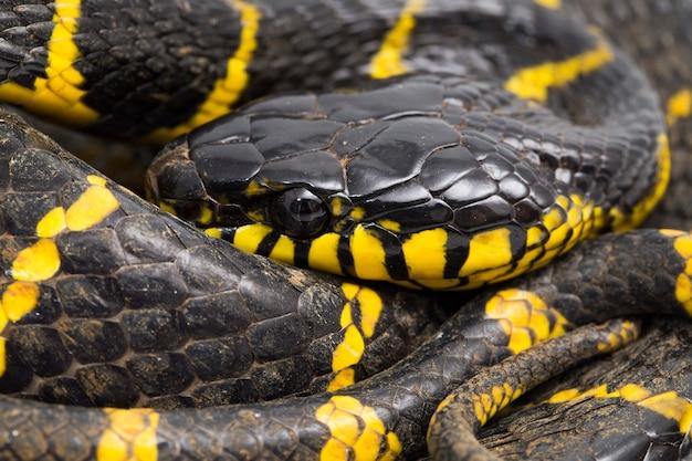 Boiga dendrophila comunemente chiamato serpente di mangrovie o serpente gatto con anelli d'oro su sfondo bianco