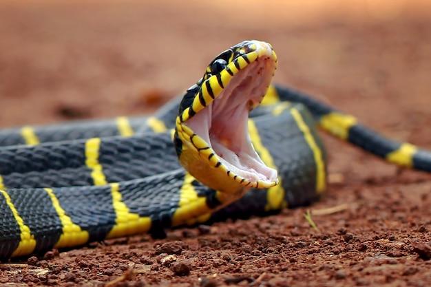 Boiga dendrophila, serpenti ad anello giallo