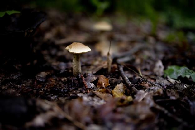 Boletus edulis, gustoso fungo nella foresta estiva.