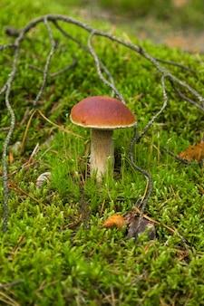 Funghi porcini sul muschio verde nella foresta.