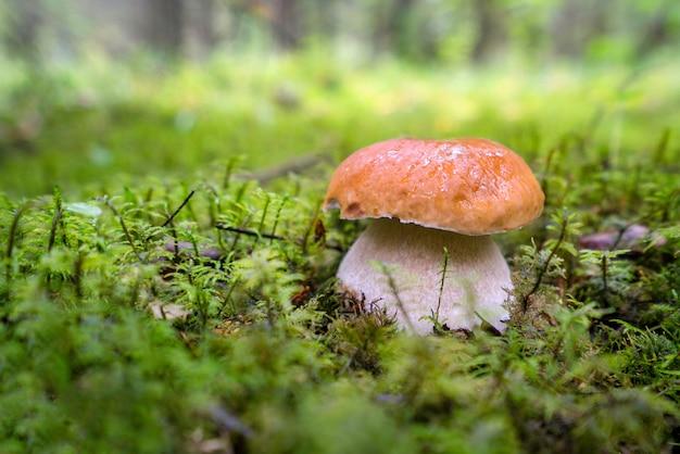 Funghi porcini sul muschio verde nella foresta