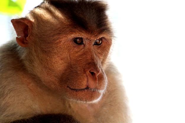 Scimmia di macaco del cofano nel forte di badami