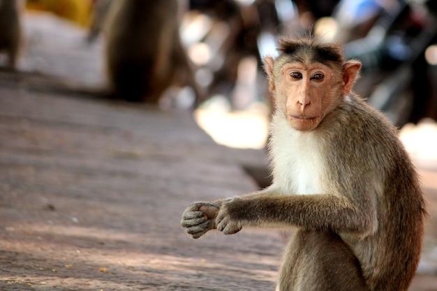La scimmia macaco dal cofano è seduta in giardino.