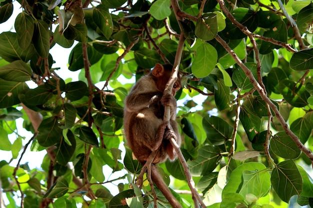 La scimmia macaco dal cofano è seduta su un albero.