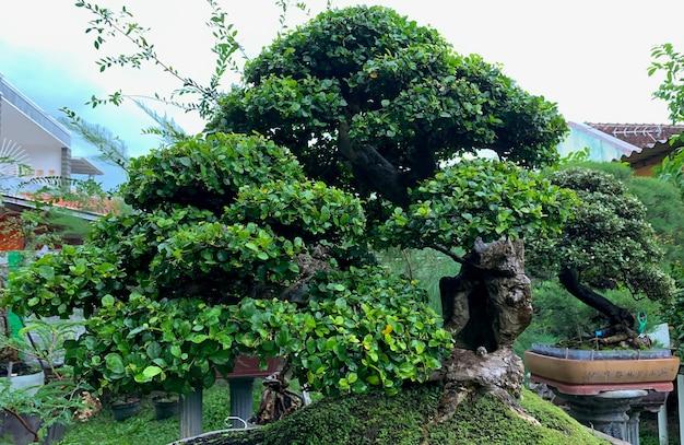 Bonsai beringin, fico piangente, fico di benjamin o albero di ficus, albero di banyan (ficus benjamina)
