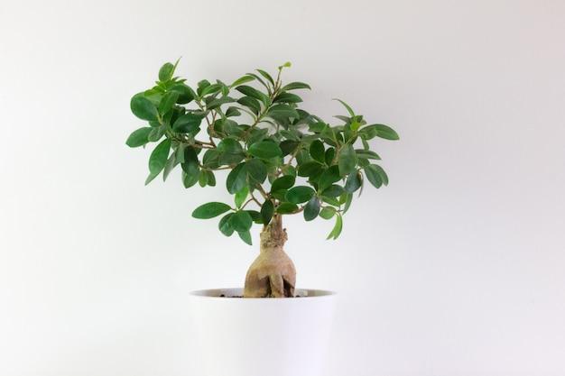 Ficus tipo bonsai, in vaso bianco con bianco