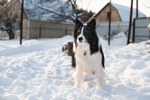 Border collie cane in campagna
