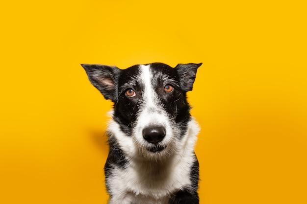 Border collie cane isolato su giallo