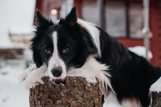 Border collie cane sdraiato sul moncone in inverno