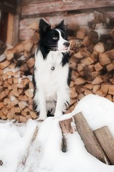 Cane border collie sulla neve con deposito di legna da ardere