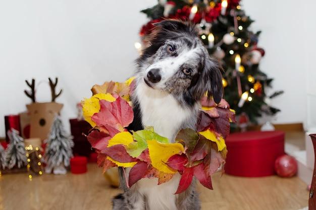 Border collie cane testa inclinabile che celebra il natale con una corona o una ghirlanda e decorazioni.
