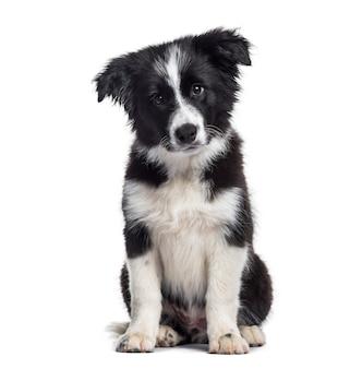 Cucciolo di border collie, 17 settimane, seduto su sfondo bianco