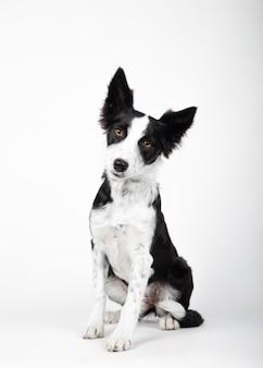 Cucciolo di border collie, 3 mesi di età, seduto su sfondo bianco