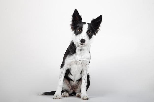 Cucciolo di border collie, 4 mesi di età, seduto davanti a sfondo bianco