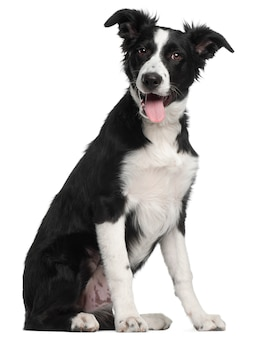 Cucciolo di border collie, 5 mesi, seduto