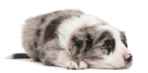 Cucciolo di border collie, 6 settimane, sdraiato