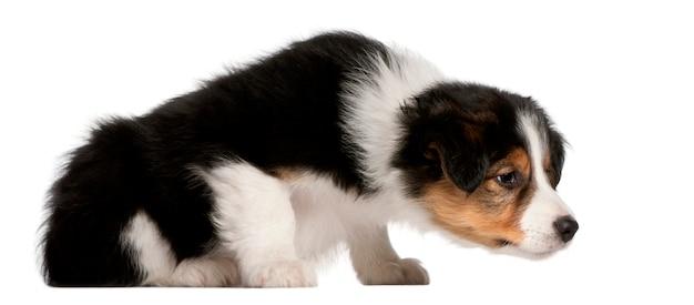 Cucciolo di border collie, 6 settimane, seduto