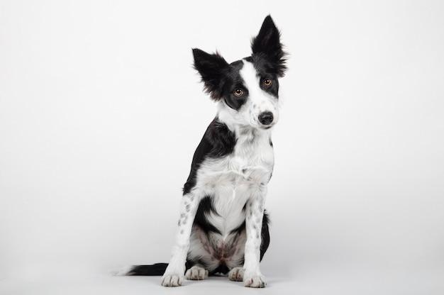 Cucciolo di border collie davanti a uno sfondo bianco