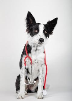Il cucciolo di border collie tiene uno stetoscopio intorno al collo