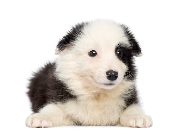 Border collie puppy, sdraiato e di fronte, isolato
