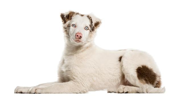 Border collie cucciolo sdraiato, isolato su bianco