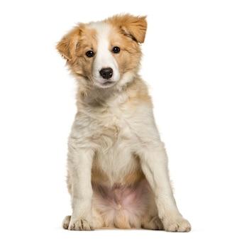 Border collie cucciolo seduto su sfondo bianco