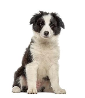 Border collie cucciolo seduto, isolato su bianco