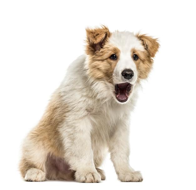Border collie cucciolo seduta bocca aperta, isolato su bianco