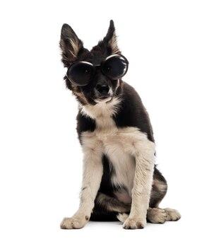 Border collie seduto e indossando occhiali da sole