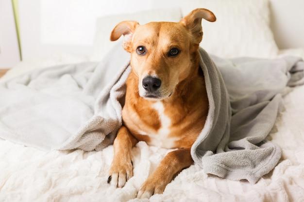 Cane di razza mista giovane zenzero annoiato sotto il plaid