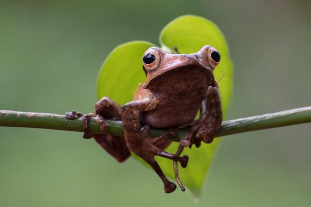 Rana dalle orecchie del borneo su un ramo di un albero