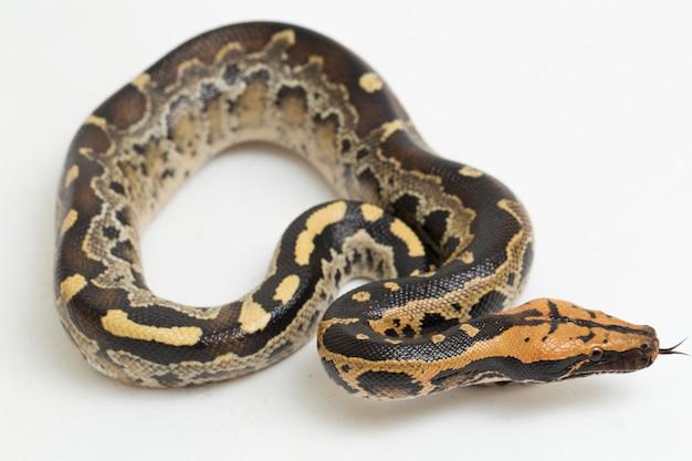 Borneo shorttailed sangue serpente pitone python curtus breitensteini isolato