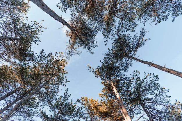 Vista dal basso degli alberi della foresta