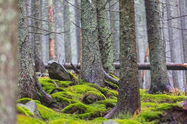 Vista dal basso di alberi ad alto fusto nella foresta primaverile