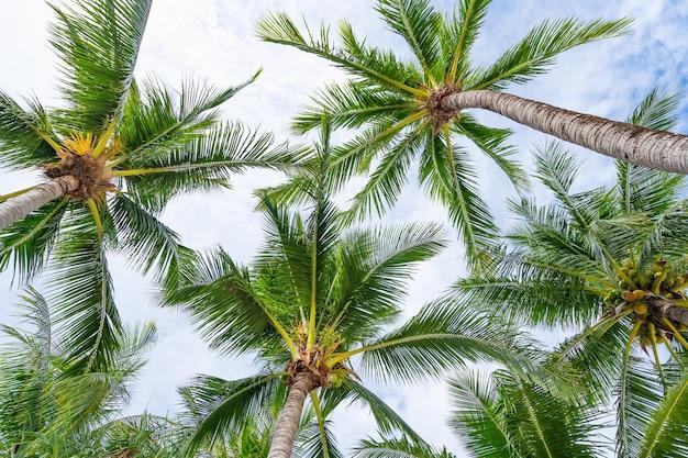 Vista dal basso di foglie di palme tropicali e cielo cornice fotografica esotica naturale foglie sui rami delle palme da cocco contro il cielo blu nella soleggiata giornata estiva.