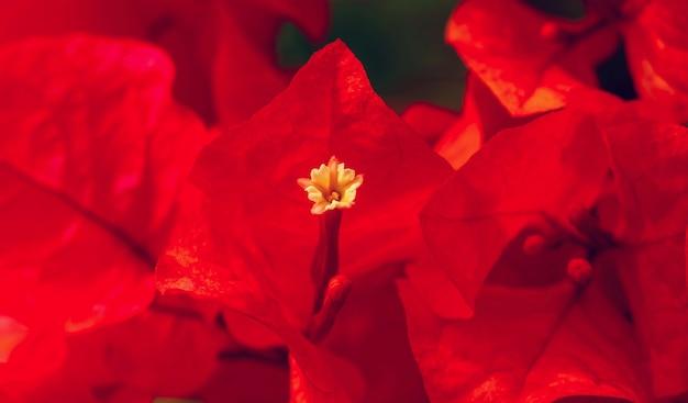 Il pistillo di bouganville a fuoco superficiale, è una pianta rampicante che ha fiori sottili, rossi o viola e cresce principalmente nei paesi caldi, come l'indonesia e il brasile