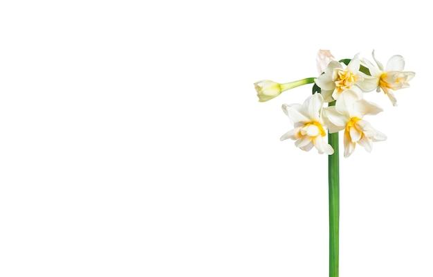Mazzo di narcisi isolato su bianco